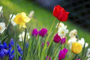 Tulips and daffodils in a garden